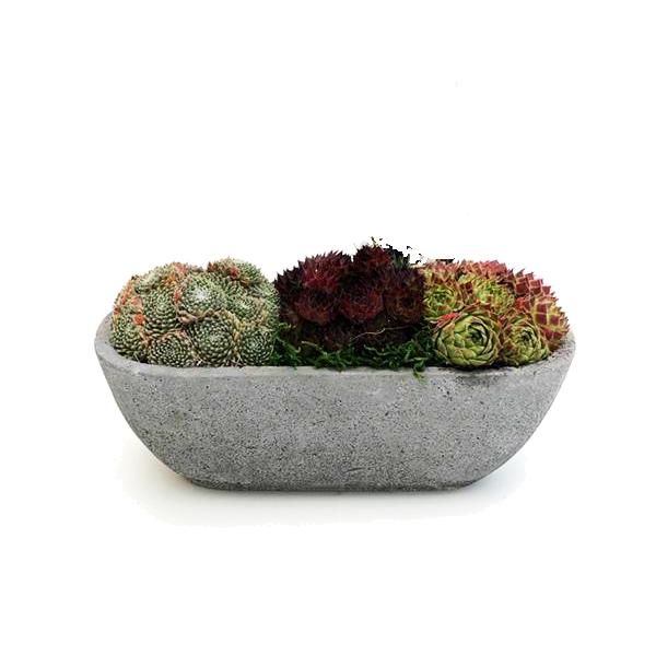 Grafperkplantjes - Casimir