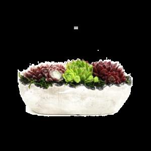 Grafperkplantjes - Odile