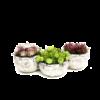 Grafperkplantjes - Annette